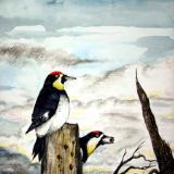 """Acorn Woodpeckers"""